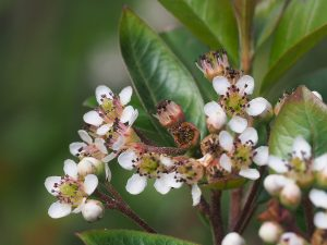 Photinia macrophylla