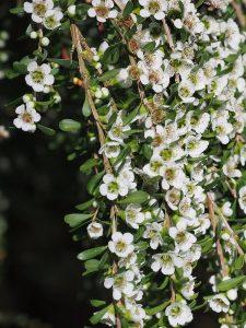 Leptospermum lonigerum