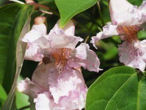 Catalpa fargesii f. duclouxii