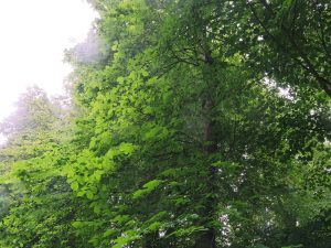 Broadleaved Elm