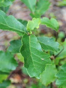 Quercus georgii