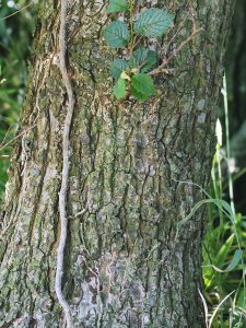 Ulmus minor subsp. angustifolia