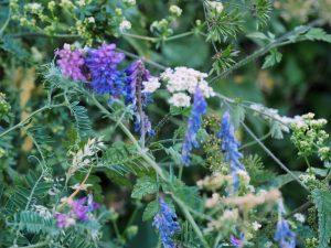 blue fescue