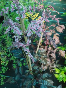 Astilbe 'Chocolate Fascination'
