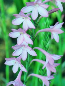 Watsonia 'Tresco dwarf pink'