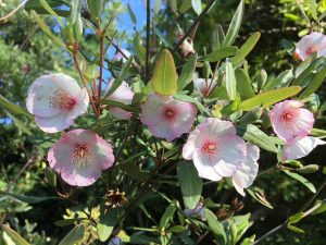 Eucryphia lucida 'Pink Clouds'