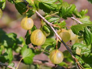 Blackcurrants, gooseberries and redcurrants
