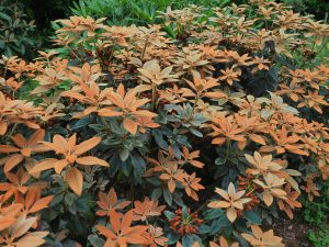 Rhododendron pseudocrysanthemum