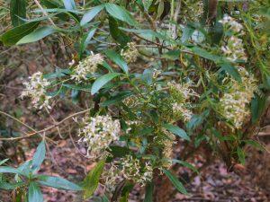 Olearia megalophylla