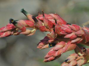 Puya dyckiodes