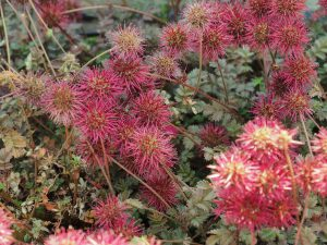 Acaenia microphylla 'Kupferteppich'