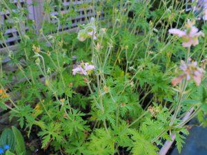 Geranium pratense 'Algera Double'