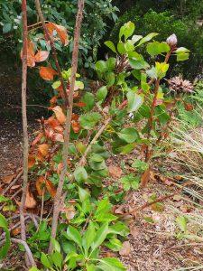 Protea cyanaroides