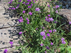 Verbena bonariensis and the much lower growing Verbena rigida