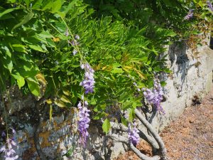 wisteria growing on the house