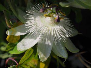 Passiflora caerulea 'Snow Queen'