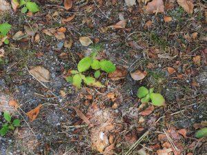 self-sown seedlings under the elderly Cornus kousas