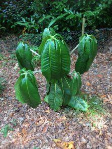 big leafed rhodos