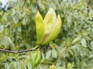 Magnolia 'Hot Flush'