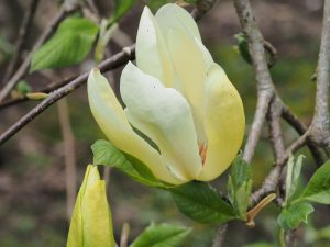 Magnolia 'Hot Flush'