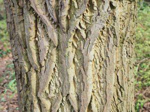 Halesia monticola