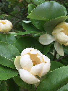 Magnolia virginiana seedling