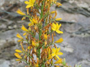 Wachendorfia thrysiflora
