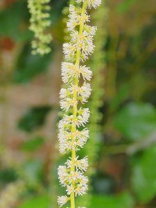 Itea yunnanensis