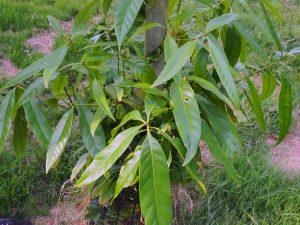 Lithocarpus brevicaudatus