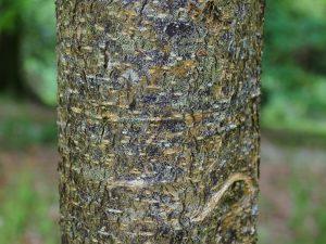 Lithocarpus cleistocarpus