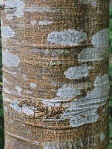 Quercus affinis