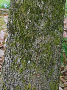 Quercus candicans