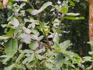 Quercus dolicholepis