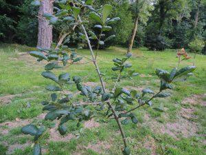 Quercus fulva