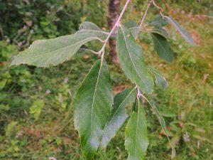 Quercus leucotricarpa