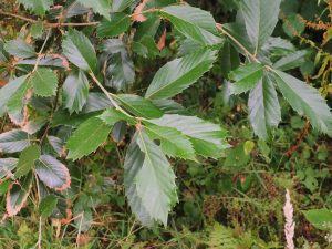 Quercus lineata