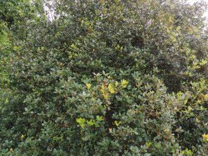 Quercus pannosa