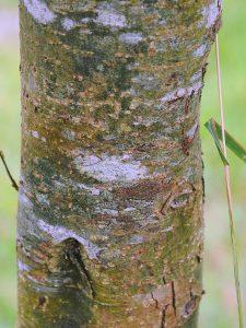 Quercus rehderiana