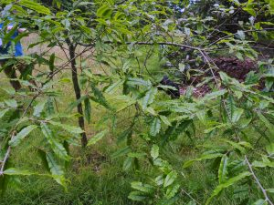 Quercus tungmaiensis