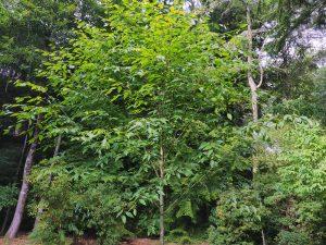 Quercus utilis