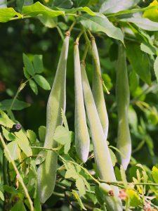 Wisteria setting runner bean-like seeds