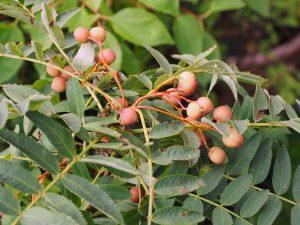 Sorbus rosea