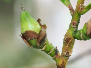 Polyspora longicarpa