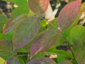 Staphylea pinnata