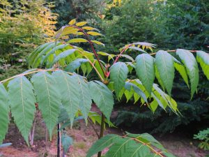 Dipteronia sinensis