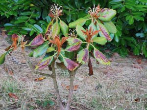 dead big and small leaved rhododendrons