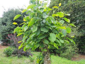 Magnolia denudata 'Forrests Pink'