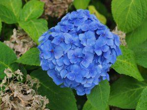 best blue mophead hydrangea