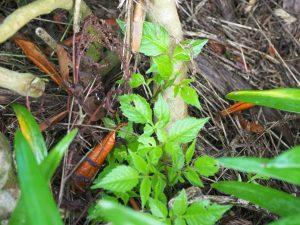 Mexican dahlia species