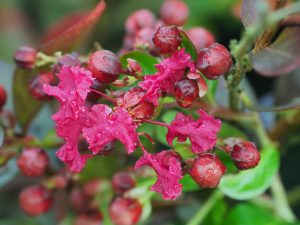 Lagerstroemia indica 'Red Emperor'